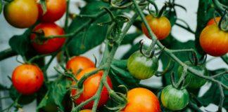 Un verger de tomates.